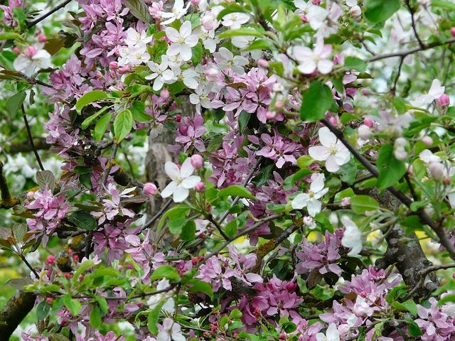 jabloňové květy